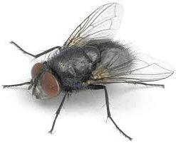 Spyfluer/Spyflue maddiger