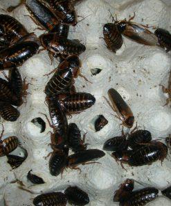 Dubia kakerlakker