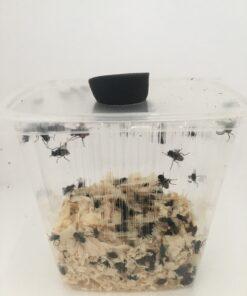 Krølvinger stuefluer